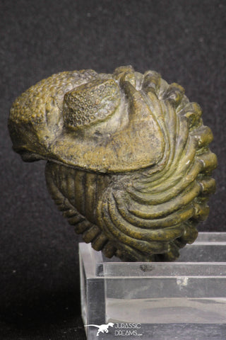 20067 - Nice Rolled 2.04 Inch Drotops megalomanicus Middle Devonian Trilobite