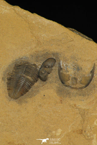 30176 - Top Rare Association of Memonia sahratiani +  Cedaria minor Upper Cambrian Trilobites Utah USA
