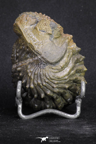 20068 - Nice Rolled 2.84 Inch Drotops armatus Middle Devonian Trilobite