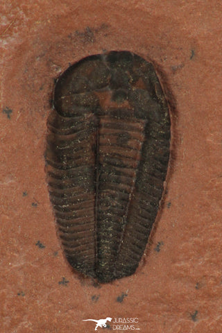 30185 - Well Preserved 0.62 Inch Memonia sp Upper Cambrian Trilobite - Utah USA