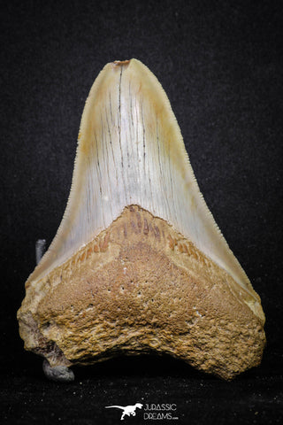 20071 - Top Rare Moroccan 3.83 Inch Megalodon Shark Tooth