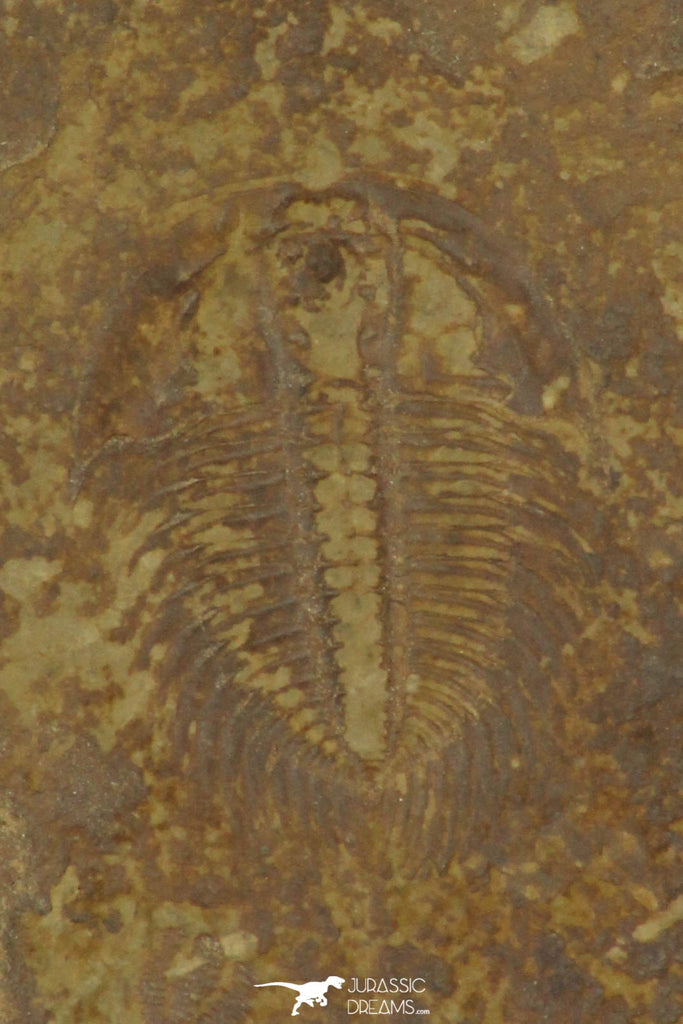 30194 - Top Rare 0.50 Inch Changaspis elongata Lower Cambrian Trilobite - China
