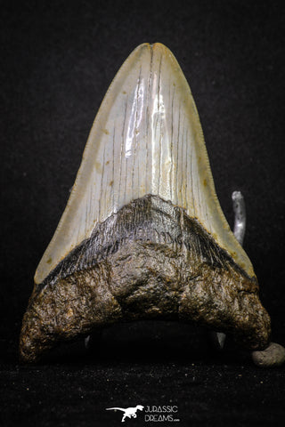 20072 - Great 3.49 Inch Megalodon Shark Tooth Miocene South Carolina - USA