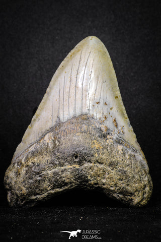 20073 - Great 3.34 Inch Megalodon Shark Tooth Miocene South Carolina - USA