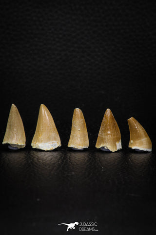 05736 - Great Collection of 5 Mosasaur Teeth Late Cretaceous
