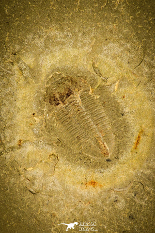 30331 - Top Beautiful 0.59 Inch Changqingia sp Cambrian Trilobite - China