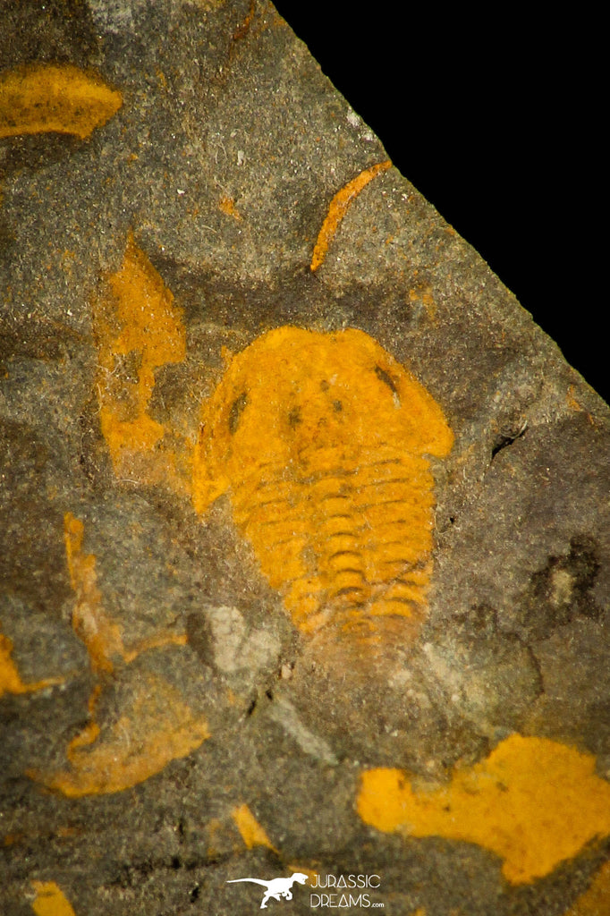 30335 - Top Beautiful 0.35 Inch Skreiaspis spinosus Middle Cambrian Trilobite - Czech Republic