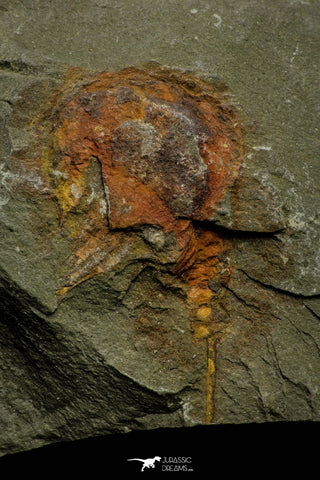 21166 - Premium Grade Soft Bodied Xiphosurid (Horseshoe Crab Ancestor) Lower Ordovician