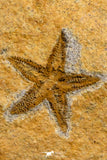 07198 - Nice Association  Mucronaspis sp Ordovician Trilobites + Petraster Sea Star