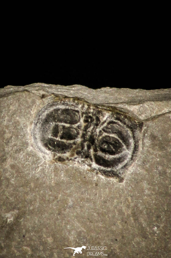 30348 - Beautiful Association of Brachyaspidion sulcatum + Baltagnostus Middle Cambrian Trilobites - Utah USA