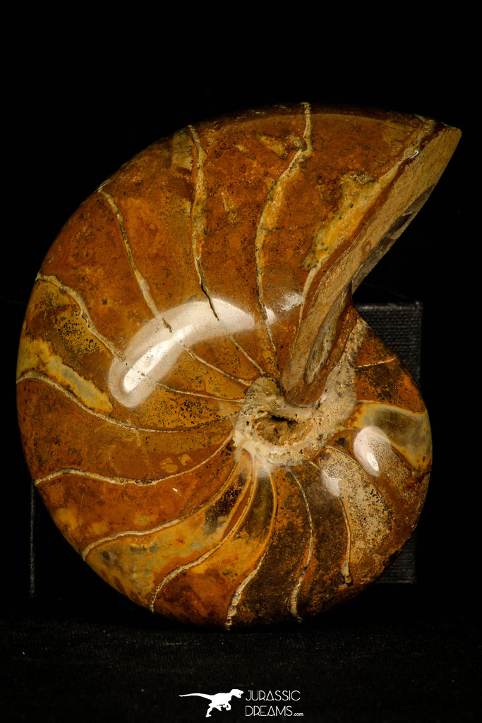 30360 - Top Beautiful 4.35 inch Nautilus Polished Cretaceous - Khenifra, Morocco