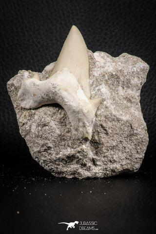 07214 - Nicely Preserved 2.76 Inch Otodus obliquus Shark Tooth in Matrix Paleocene