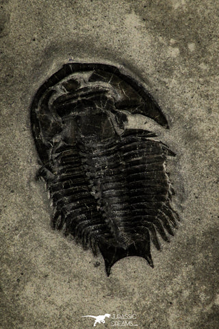 30364 - Scarce Dicanthopyge Upper Cambrian Trilobite - Forked Tail