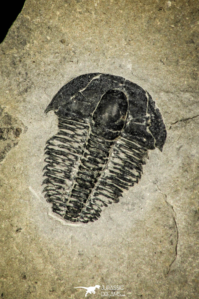 30367 - Top Rare 0.50 Inch Spencia typicalis Middle Cambrian Trilobite - Utah USA