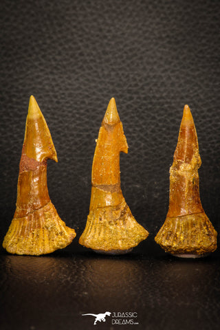 08299 - Great Collection of 3 Onchopristis numidus Cretaceous Sawfish Rostral Teeth Cretaceous