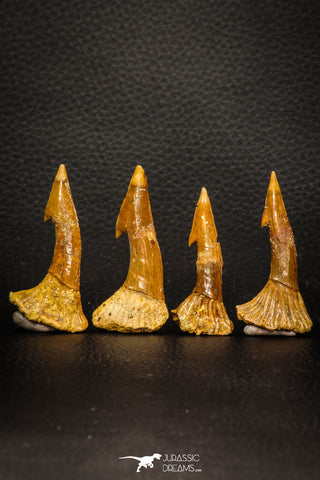 08300 - Great Collection of 4 Onchopristis numidus Cretaceous Sawfish Rostral Teeth Cretaceous