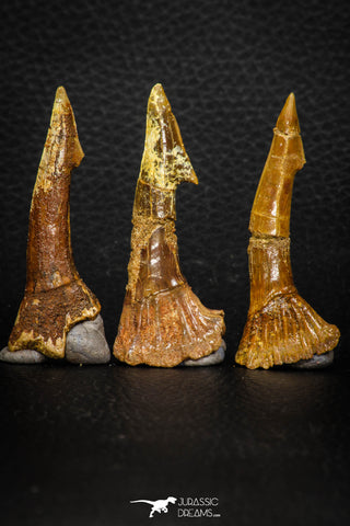 08301 - Great Collection of 3 Onchopristis numidus Cretaceous Sawfish Rostral Teeth Cretaceous