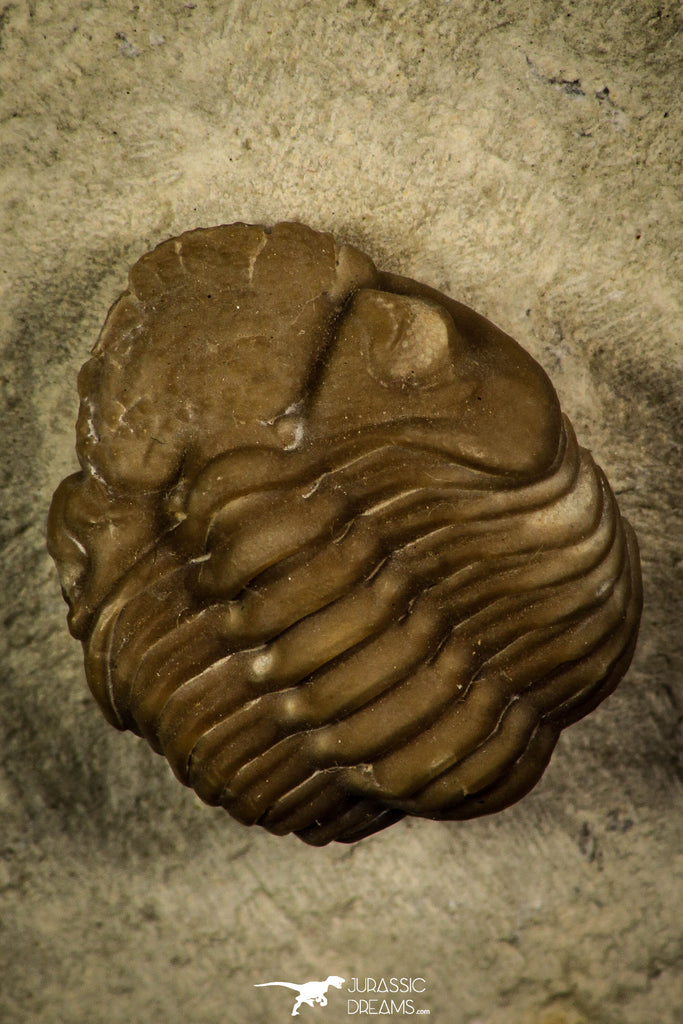 30382 - Top Beautiful 0.72 Inch Lochovella (Reedops) deckeri Lower Devonian Trilobite - Oklahoma USA