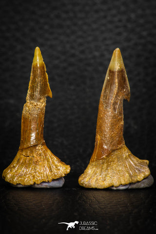 08306 - Great Collection of 2 Onchopristis numidus Cretaceous Sawfish Rostral Teeth Cretaceous