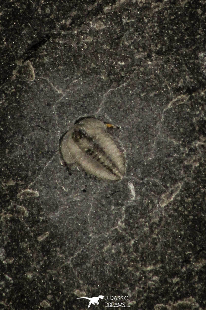 30384 - Nicely preserved 0.11 Inch Brachyaspidion microps Middle Cambrian Trilobites - Utah USA
