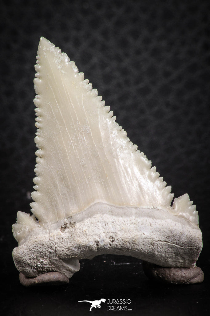 07239 - Finest Quality 1.58 Inch Serrated Palaeocarcharodon orientalis (Pygmy white Shark) Tooth