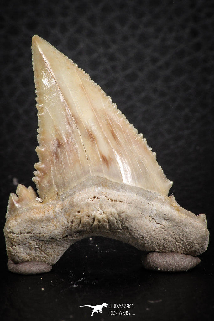 07243 - Finest Quality 1.54 Inch Serrated Palaeocarcharodon orientalis (Pygmy white Shark) Tooth