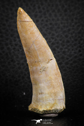 07248 - Beautiful 2.35 Inch Enchodus libycus Tooth Late Cretaceous