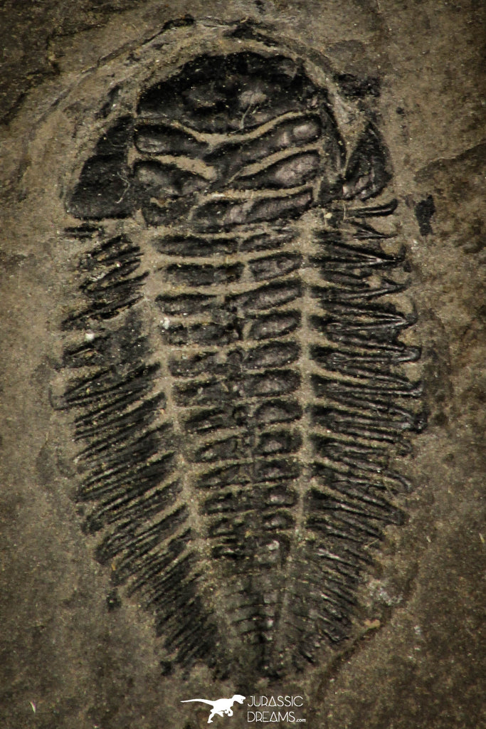 30393 - Rare 0.80 Inch Bathynotus kueichouensis Early Cambrian Trilobite - China