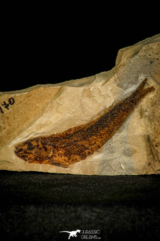 30394 - Top Quality 2.88 Inch Unidentified Fish - Eocene Monte Bolca Italy