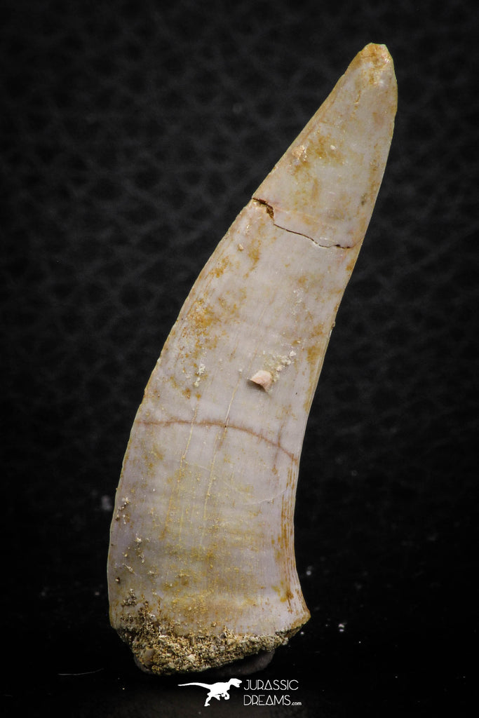 07252 - Top Beautiful 1.93 Inch Enchodus libycus Tooth Late Cretaceous