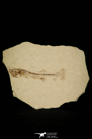 30398 - Well Preserved 1.58 Inch Fossil Fish Fundulus nevadensis Pliocene - Nevada