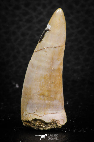 07257 - Beautiful 1.44 Inch Enchodus libycus Tooth Late Cretaceous