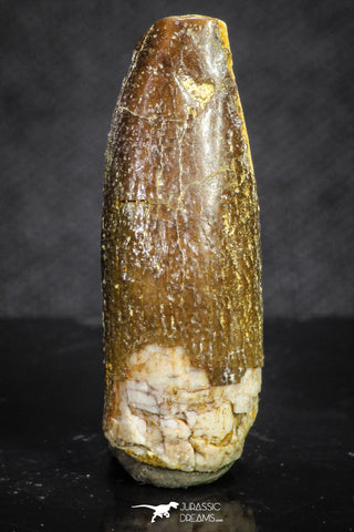 20135 - Well Preserved 1.00 Inch Rebbachisaurus Diplodocoid Sauropod Dinosaur Tooth