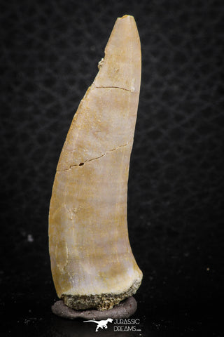 07259 - Great 1.80 Inch Enchodus libycus Tooth Late Cretaceous