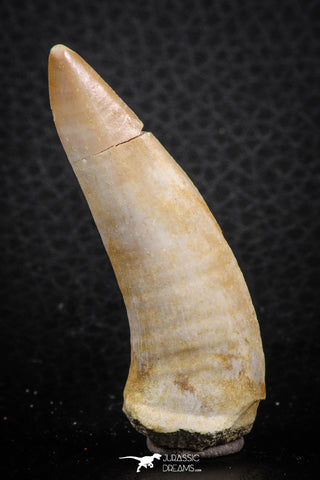 07261 - Great 2.19 Inch Enchodus libycus Tooth Late Cretaceous