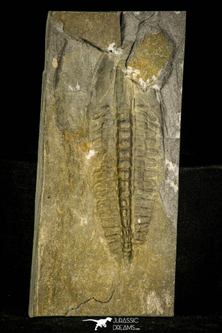 30408 - Top Rare 4.24 Inch Angelina sedgwickii Lower Ordovician Trilobite - Wales