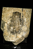 30410 - Huge 3.37 Inch Olenoides nevadensis Middle Cambrian Trilobite - Utah USA