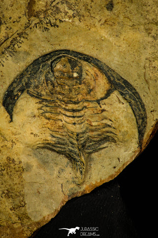 30414 - Detailed 1.31 Inch Esmeraldina sp Lower Cambrian Trilobite - Nevada USA