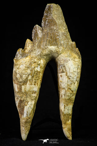 21007 - Top Rare 4.99 Inch Pappocetus lugardi (Whale Ancestor) Molar Rooted Tooth