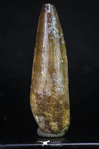 20154 - Nicely Preserved 2.76 Inch Spinosaurus Dinosaur Tooth Cretaceous