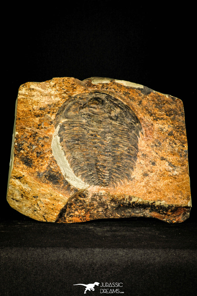 30429 - Top Rare Huge 4.26 Inch aff. Psedosaukianda lata Early Cambrian Redlichiid Trilobite