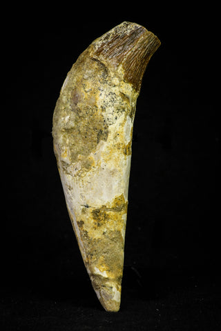 21021 - Top Rare 4.87 Inch Pappocetus lugardi (Whale Ancestor) Incisor Rooted Tooth