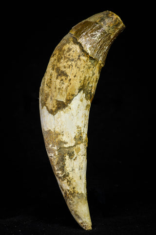 21022 - Top Rare 5.19 Inch Pappocetus lugardi (Whale Ancestor) Incisor Rooted Tooth