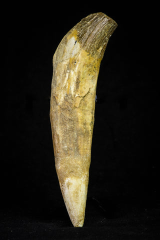 21024 - Top Rare 5.13 Inch Pappocetus lugardi (Whale Ancestor) Incisor Rooted Tooth