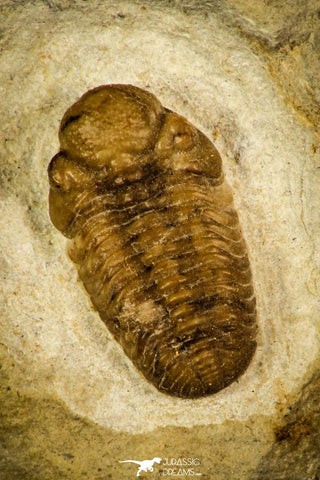 30435 - Top Quality 0.62 Inch Viaphacops bombifrons Lower Devonian Trilobite - Oklahoma USA