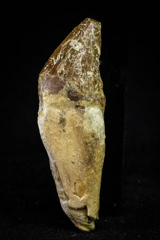 21031 - Top Rare 2.02 Inch Pappocetus lugardi (Whale Ancestor) Incisor Rooted Tooth Eocene