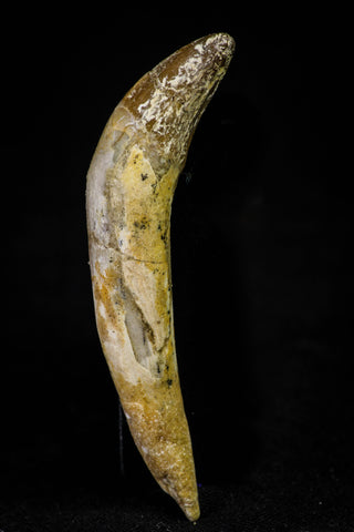21032 - Top Rare 2.24 Inch Pappocetus lugardi (Whale Ancestor) Incisor Rooted Tooth Eocene