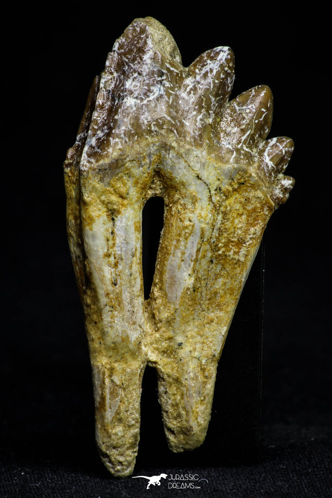 21014 - Top Rare 2.41 Inch Pappocetus lugardi (Whale Ancestor) Molar Rooted Tooth