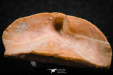 07300 - Great 1.41 Inch Calceola sandalina Middle Devonian Horn Coral