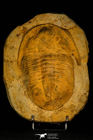 30462 - Huge 9.25 Inch Asaphid Trilobite in Concretion Ordovician Morocco